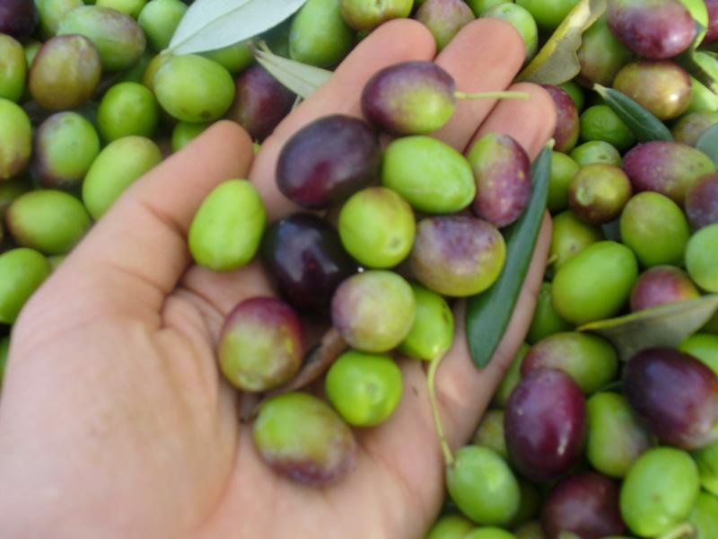 Prodotti naturali agriturismo in toscana - Cucinare olive appena raccolte ...